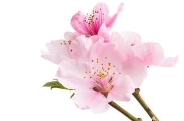 sakura flower isolated