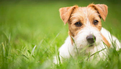 Face of a happy cute jack russell pet dog puppy as lying in the grass, web banner with copy space