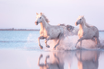 Fototapeta Beautiful white horses run gallop in the water at soft sunset light, National park Camargue, Bouches-du-rhone department, Provence - Alpes - Cote d'Azur region, south France obraz