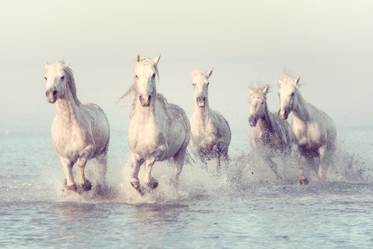 Beautiful white horses run gallop in the water at soft sunset light, vintage image, National park Camargue, Bouches-du-rhone department, Provence - Alpes - Cote d'Azur region, south France