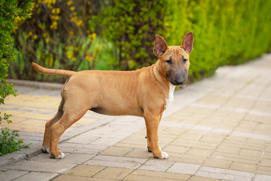 Cute red miniature bull terrier puppy posing outdoors in the park