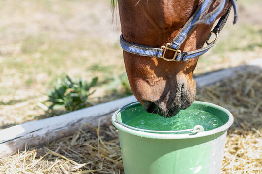Beautiful brown thoroughbred horse drinking water from bucket. Thirst during hot summer day. Thirsty animal at farm