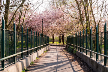 Pathway to the Cherry Blossom