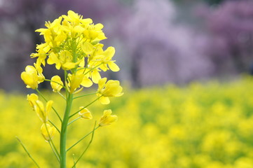 菜の花の咲く