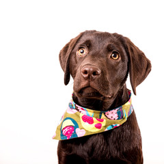 Süßer Labrador Welpe mit Halsband