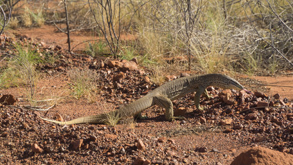 Australian Bush Goanna along famous Stuart Highway, big lizard seen in Outback, Australia.