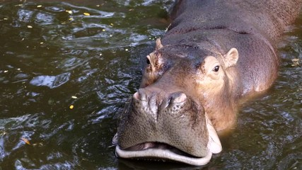 Wall Mural - hippopotamus in the river