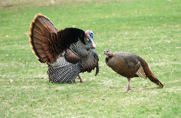 male turkey and female turkey on the meadow