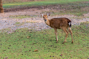 A little young deer looking to something isolated on green grass yard