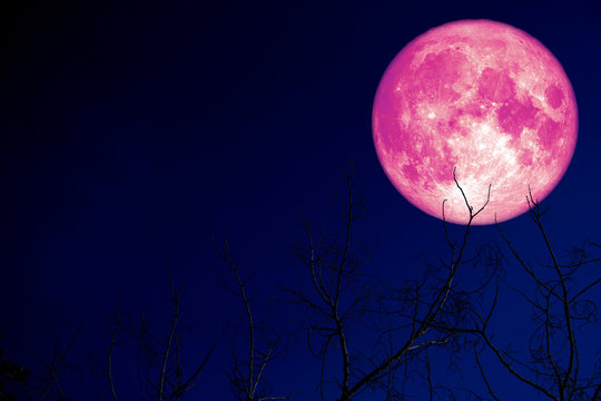 super pink egg moon back on silhouette plant and trees on night sky