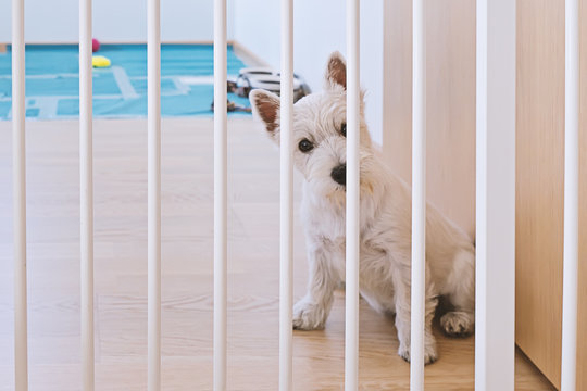 Cute west highland white terrier puppy sitting behind dog fence and looking at camera. Isolation of puppy when he is alone at home