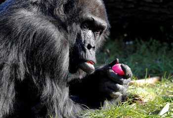 Western lowland gorilla Fatou eats a hard-boiled Easter Egg during a media event at the Zoo in Berlin