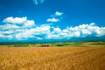 Wall Mural - 夏の小麦畑