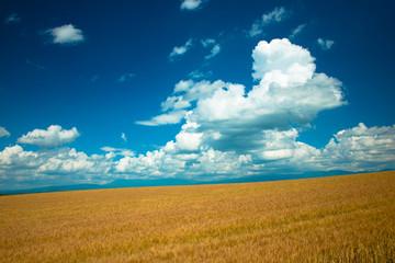夏の小麦畑