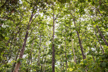 Teak forests to the environment . Teak leaf on tree low angle view . Forest Teak tree agricultural...