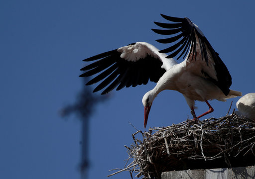 A white stork spreads its wings as it stands in a nest in front of a church's cross in Rust