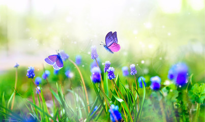 Violet Muscari flowers and surprisingly beautiful colorful butterfly in rays of summer sunlight in...
