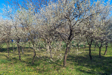 Wall Mural - Blooming cherry orchard in spring