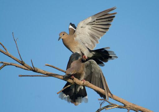 White-winged Dove Fight