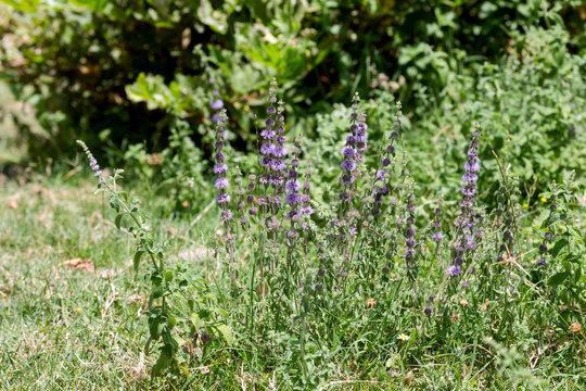 Wild, mint (Mentha pulegium) grows in the mountains