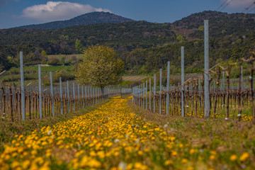 vineyards rows covered with flowers