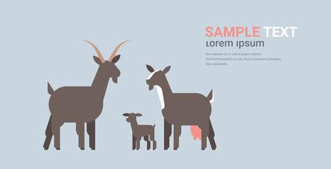 cute black goats family cartoon farm domestic animals husbandry grazing cattle concept flat horizontal copy space