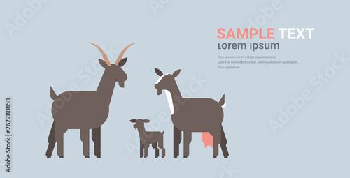 cute black goats family cartoon farm domestic animals husbandry