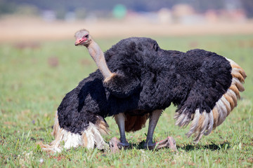 Male Ostrich performing a courtship dance on short grass