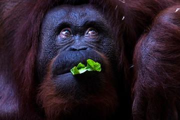 Orangutan monkey close up portrait while eating