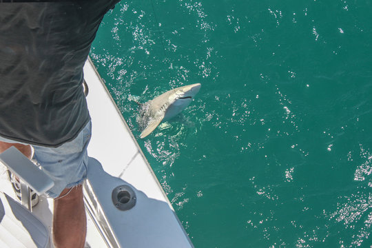 Catching sharks - fisherman in cut-off jeans shorts standing on the deck of a boat pulls a small shark out of the water with a hook in his mouth