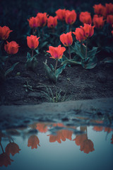 Blooming red spring tulips reflecting in a puddle