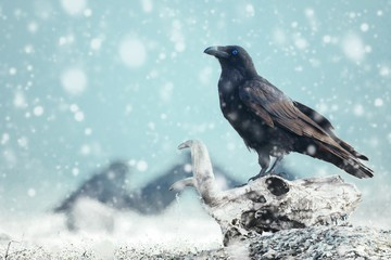 Fototapete - Raven with blue eye sitting on a skull on the snow. Stylized photography