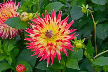 Fotobehang Dahlia Close up of Dahlia 'Western Spanish Dancer' in a flower garden