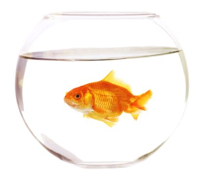 Gold fish in aquarium on a white background