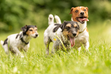 A pack of small Jack Russell Terrier are running and playing togehter in the meadow with a ball