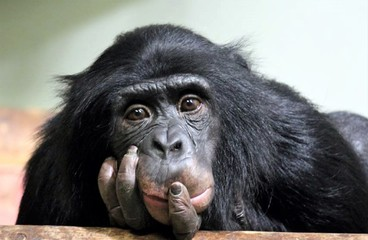 Foto op Aluminium Aap chimp chimpanzee monkey ape (pan troglodyte) stock, photo, photograph, image, picture,