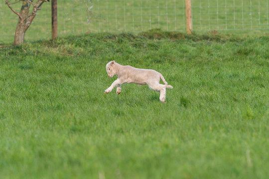 Lamb playing.