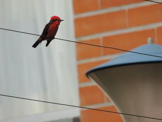 mosquero cardenal macho