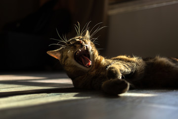 Cat yawns in the sun