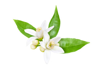 Neroli blossom isolated on white Fototapete