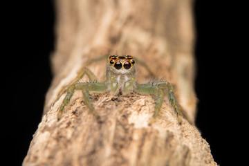 Jumping spider predator nature habitat