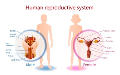 Human Reproductive System Anatomical Banner