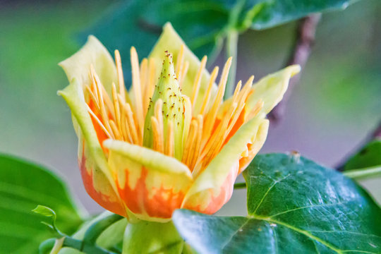 Close up of a flower of an adult American tulip tree, Liriodendron tulipifera, with natural grown up form