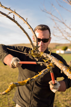 Gardener pruning fruit tree branch in the orchard
