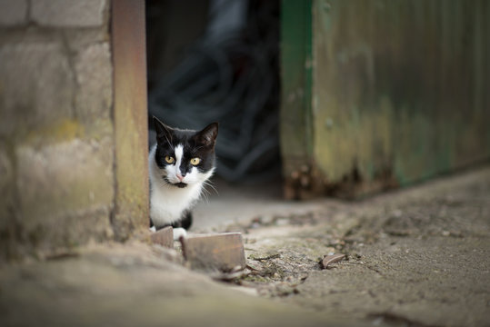 black and white cat hiding behind barn door on a farm