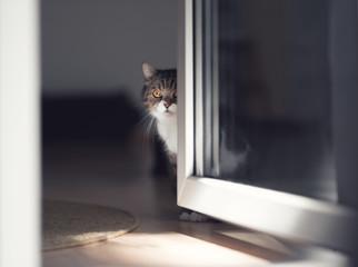 tabby british shorthair cat hiding behind door