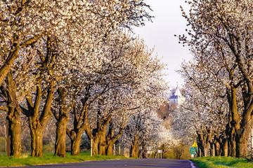 kwitnące czereśnie na Górze św. Anny