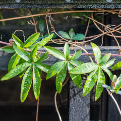 Passion Flower Leaves