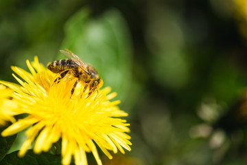 Foto op Textielframe Bee Honey bee covered with yellow pollen collecting nectar from dandelion flower.