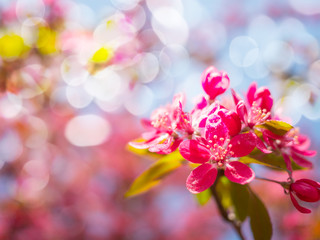 beautiful pink flowers bloom background, spring blossom tree